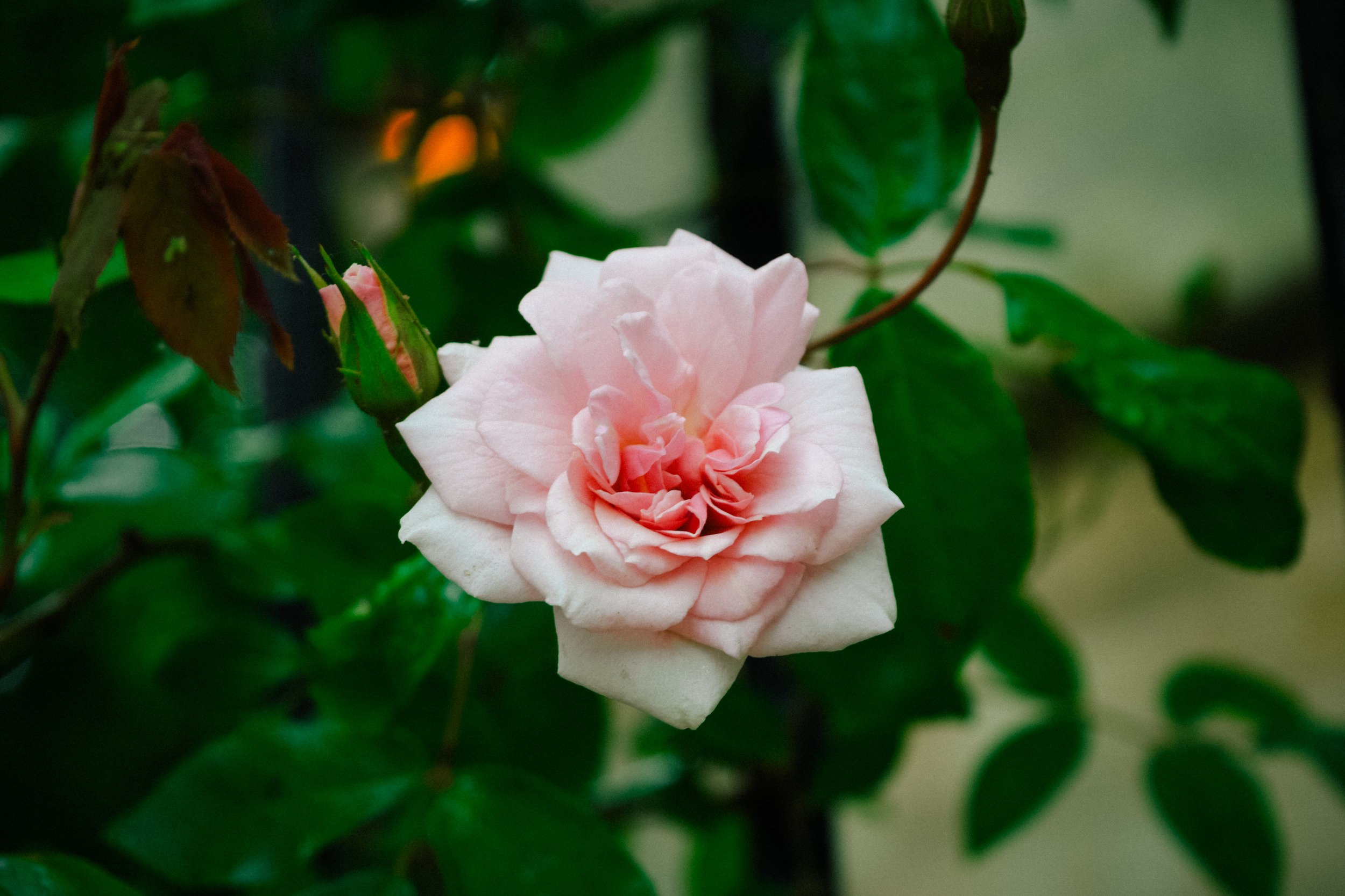 Rose in Oxford
