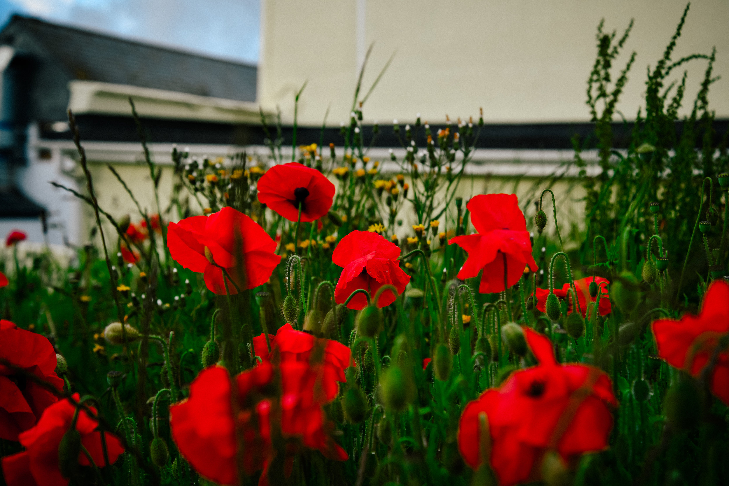 poppies in port isaac