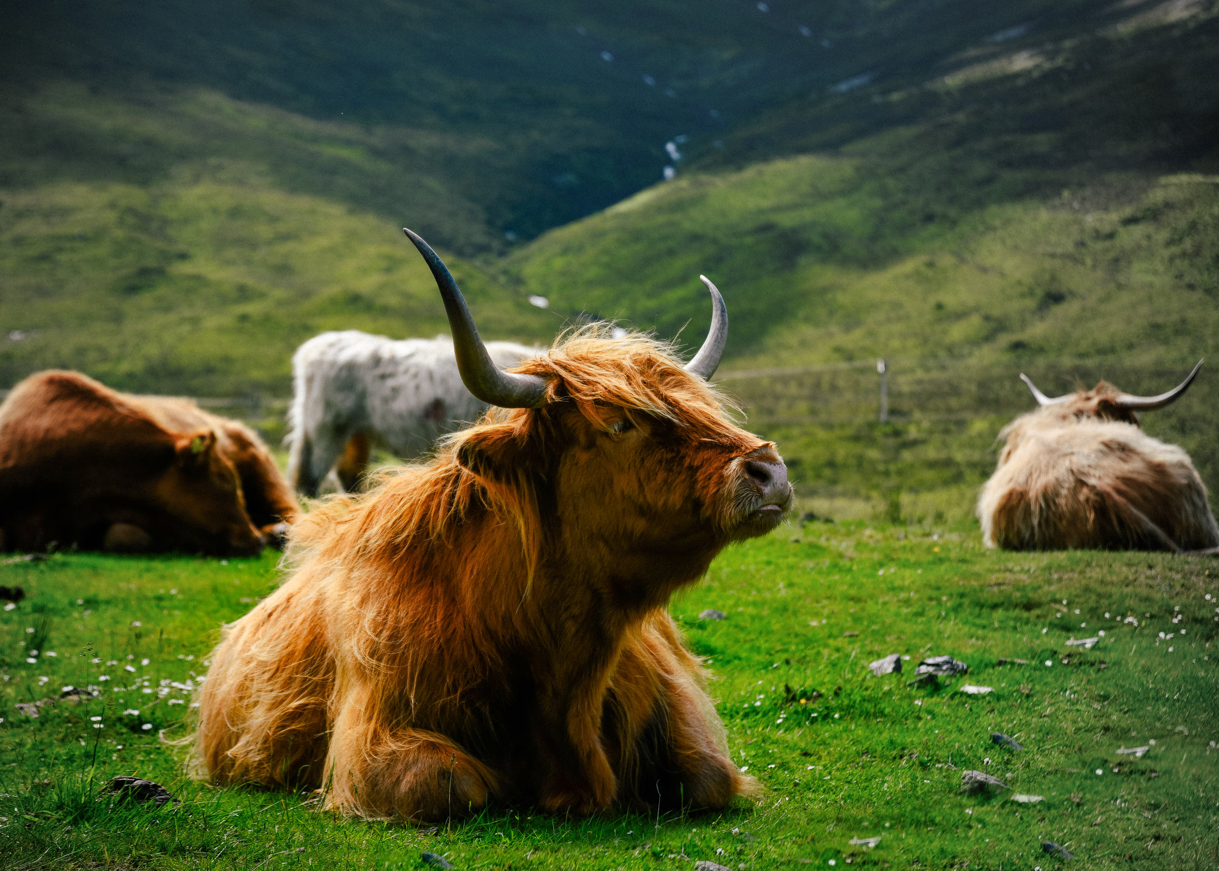 adorable highland cow! (or as the Scottish say, heilan coo)