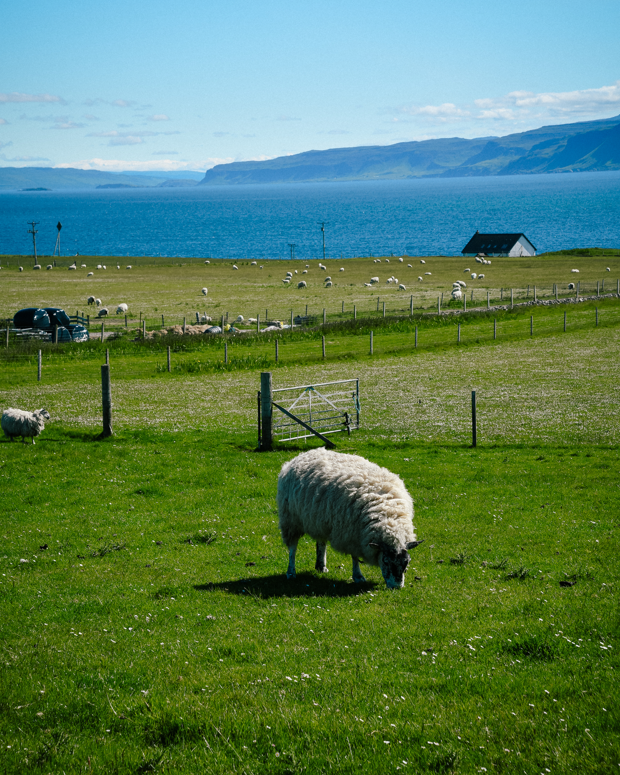 cute sheep in iona