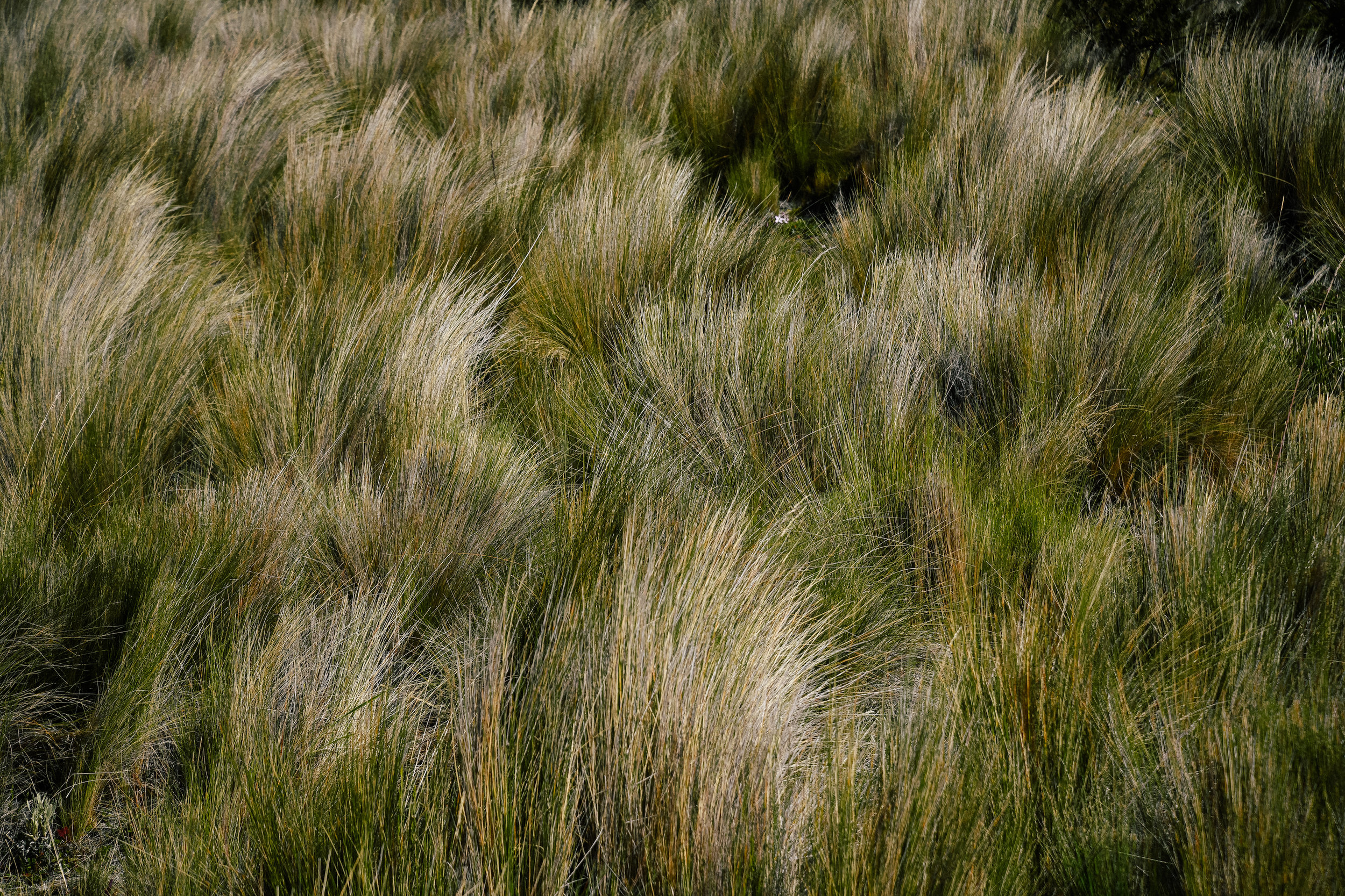 grass detail in cotopaxi national park