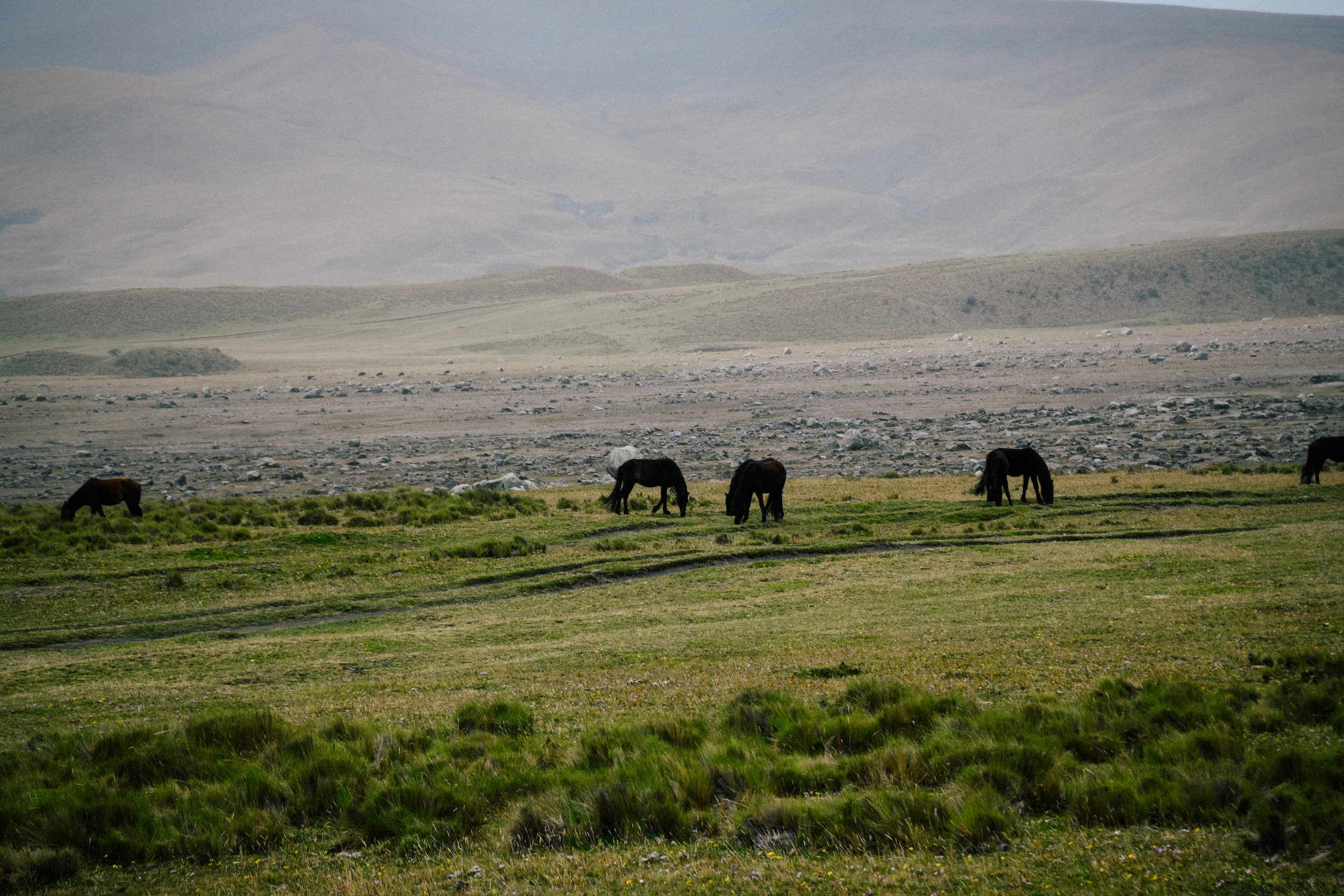 wild horses in cotopaxi