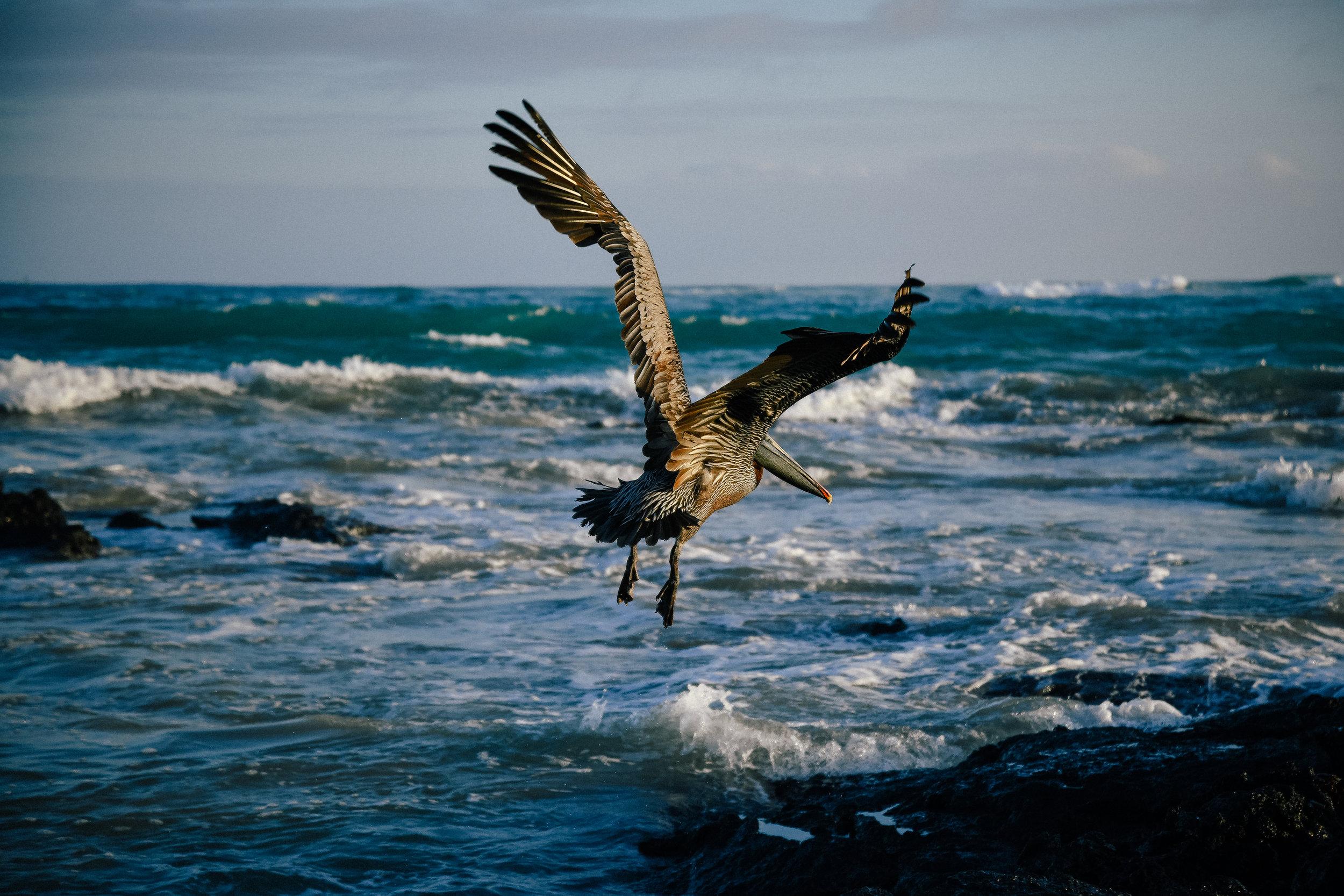 a galapagos pelican