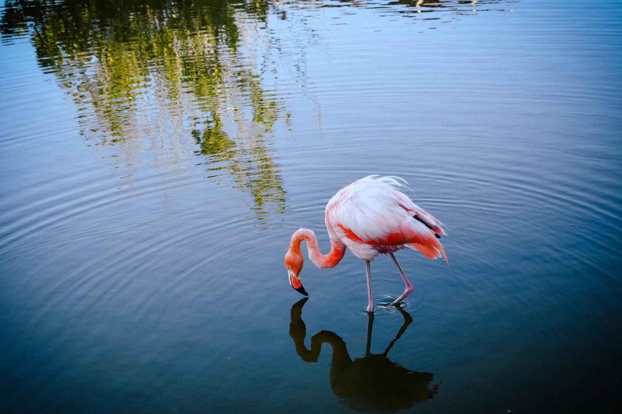 at the flamingo lagoon in isla isabela
