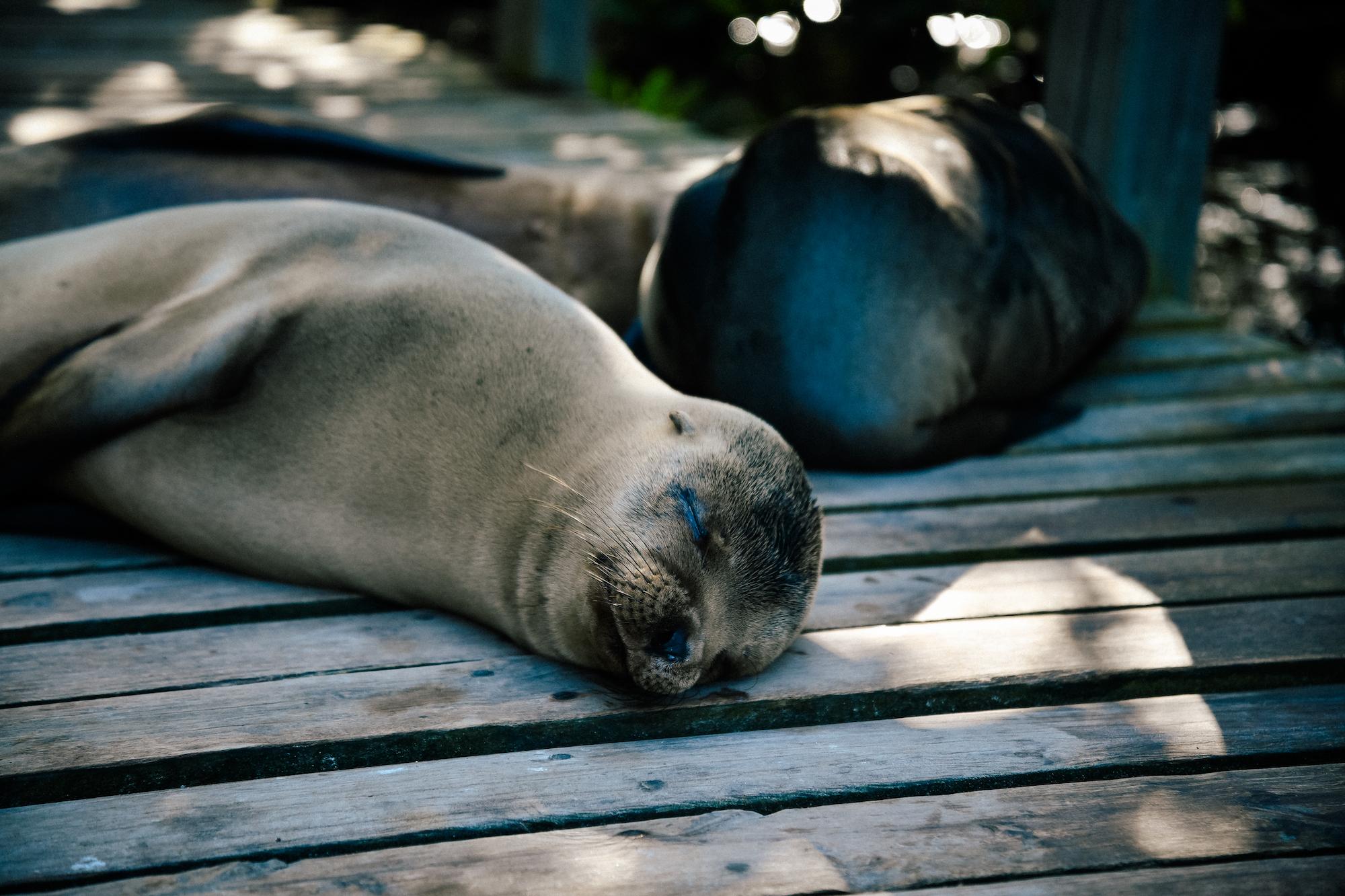 seals sleeping near concha perla