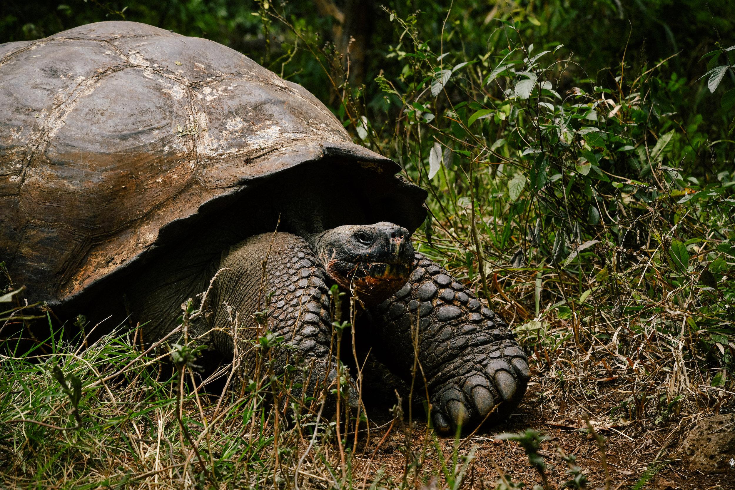 a huge galapagos land tortoise