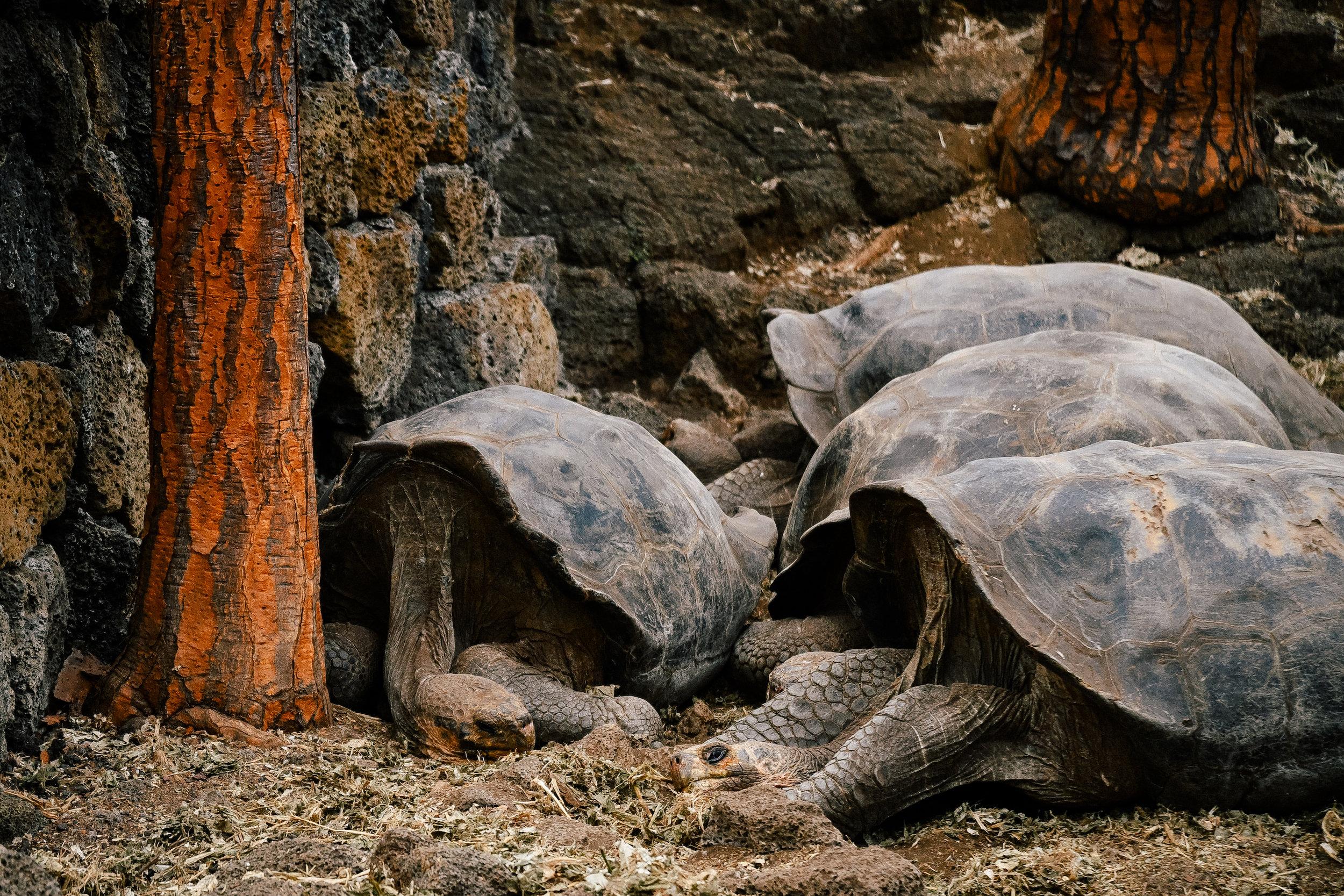 tortoises in the darwin research center, isla santa cruz, galapagos