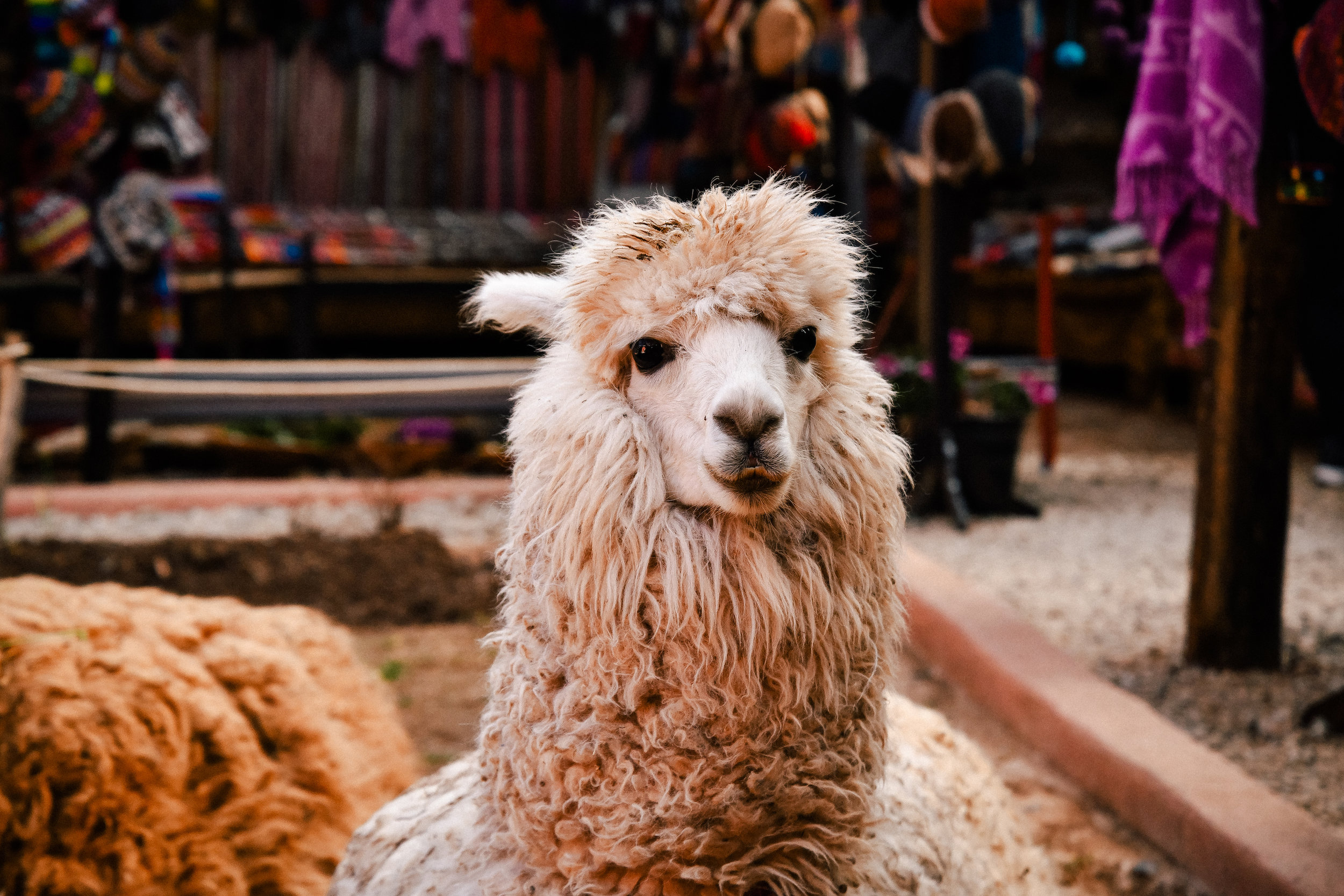 a beautiful andean llama with a FLUFFY FACE