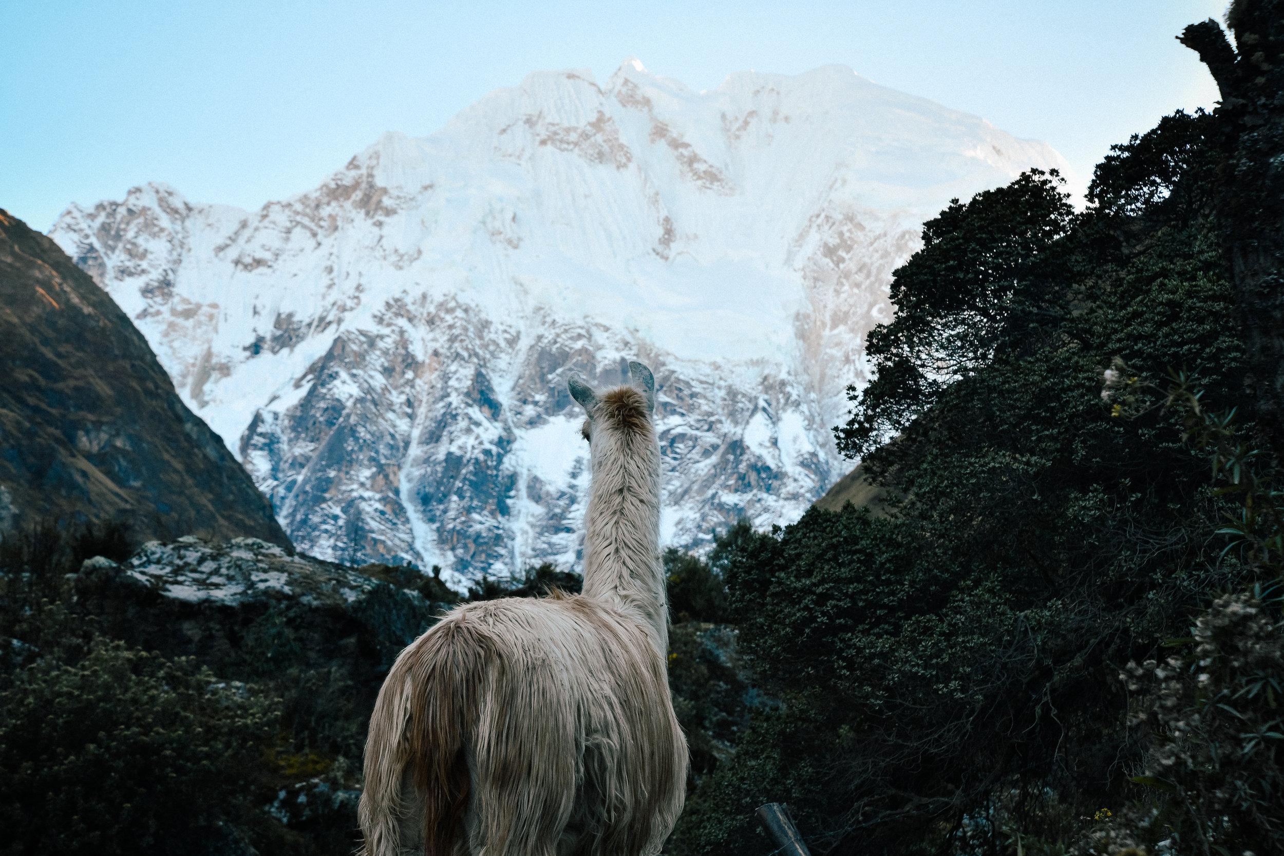llama on the salkantay trek