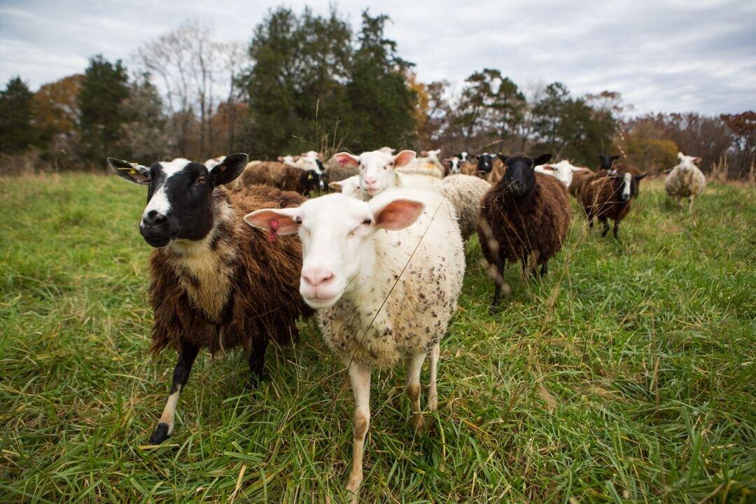 New Sheep3.jpeg