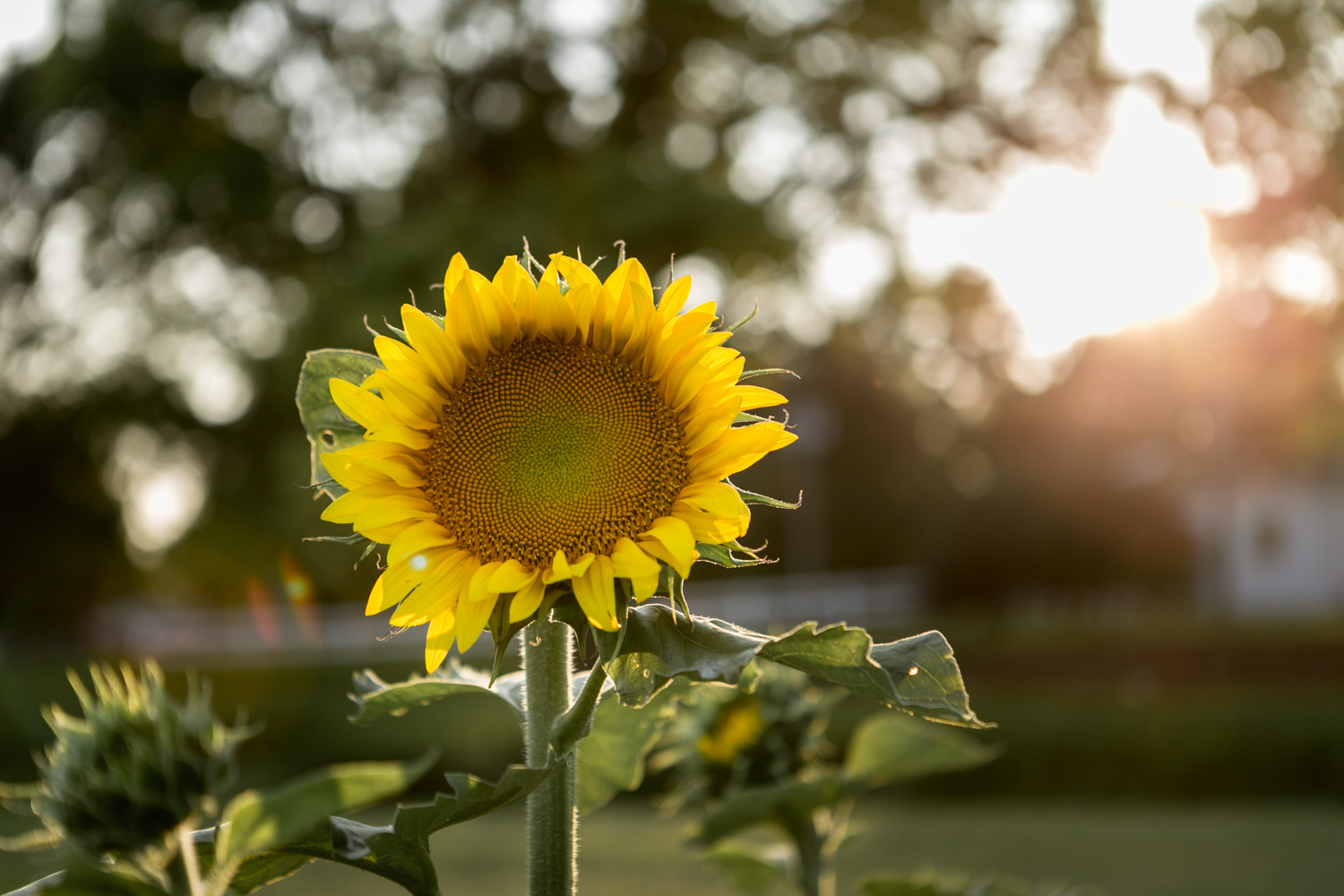 Sunflower in bloom at Kansas State University, during a Fall Photo Session in Manhattan Kansas. Pretty sunflower pictures captured by Renee McDaniel Photography.