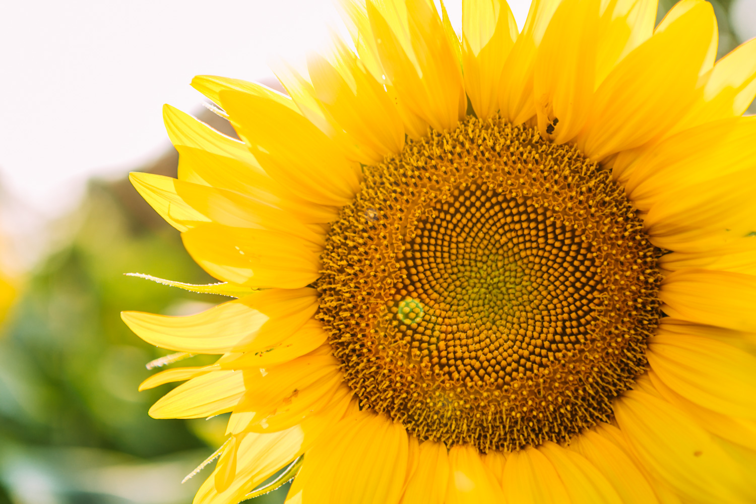 Sunflower with lens flare at Britt's Garden Acres and Farm, photographed during a Sunflower Mini Session in Manhattan Kansas.