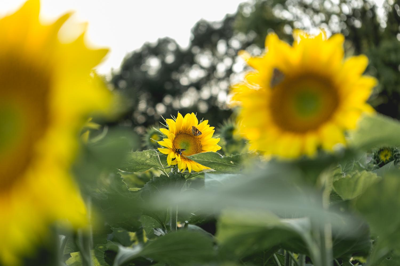 Butterflies on sunflower at Britt's Garden Acres, Manhattan Ks. Sunflower pics captured by Renee McDaniel Photography.