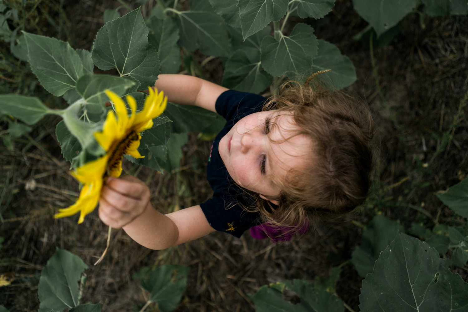 Girl reaching out for sunflower at Britt's Farm and Garden Acres Store, Manhattan Kansas. Captured by Renee McDaniel Photography.