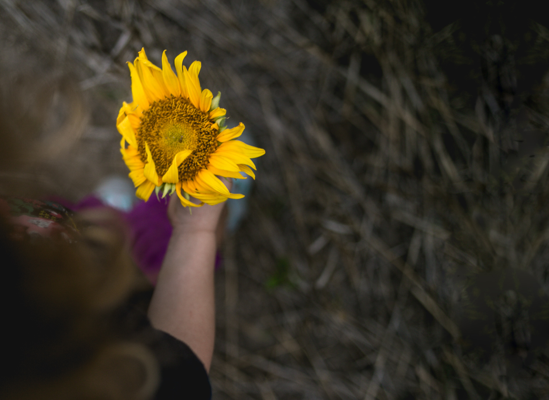Girl holding sunflower during fall family photos at Britt's Garden Acres, Manhattan Kansas. Captured by Renee McDaniel.