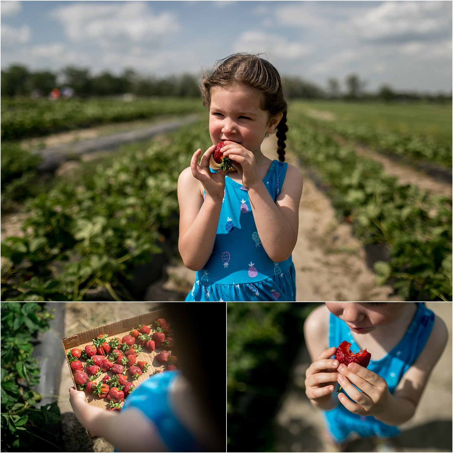 Strawberry picking at A and H Farm in Manhattan Kansas