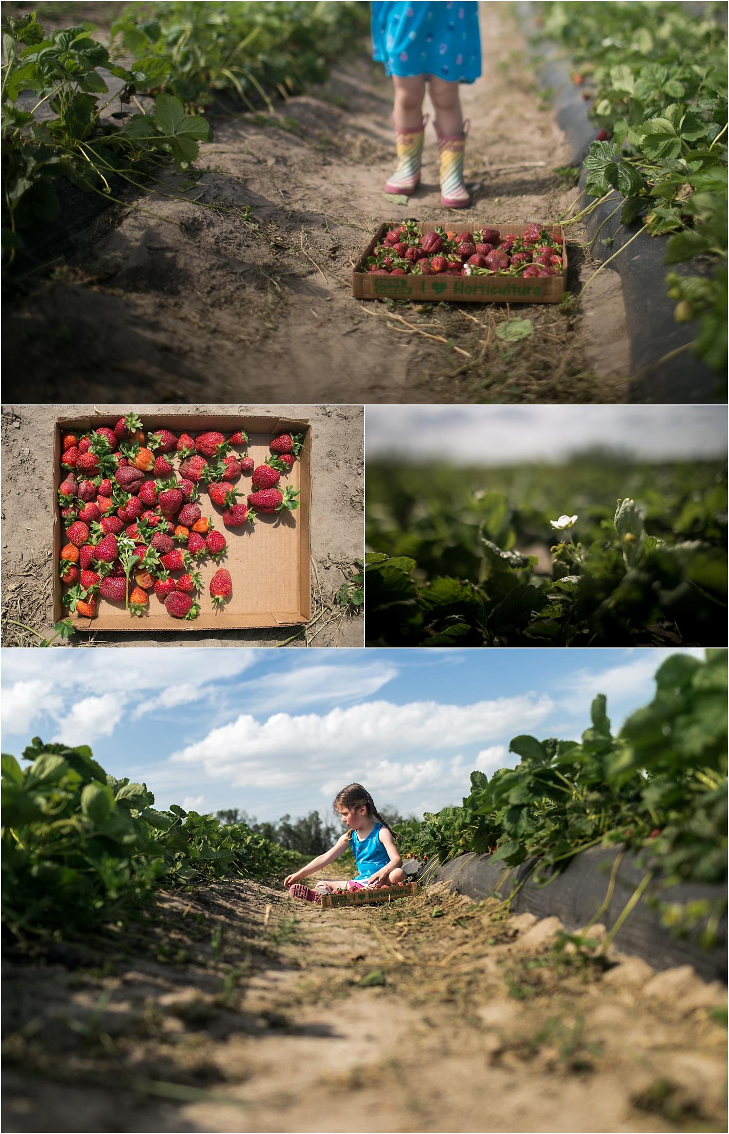 Gathering and picking strawberries at A & H Farm in Manhattan, Kansas