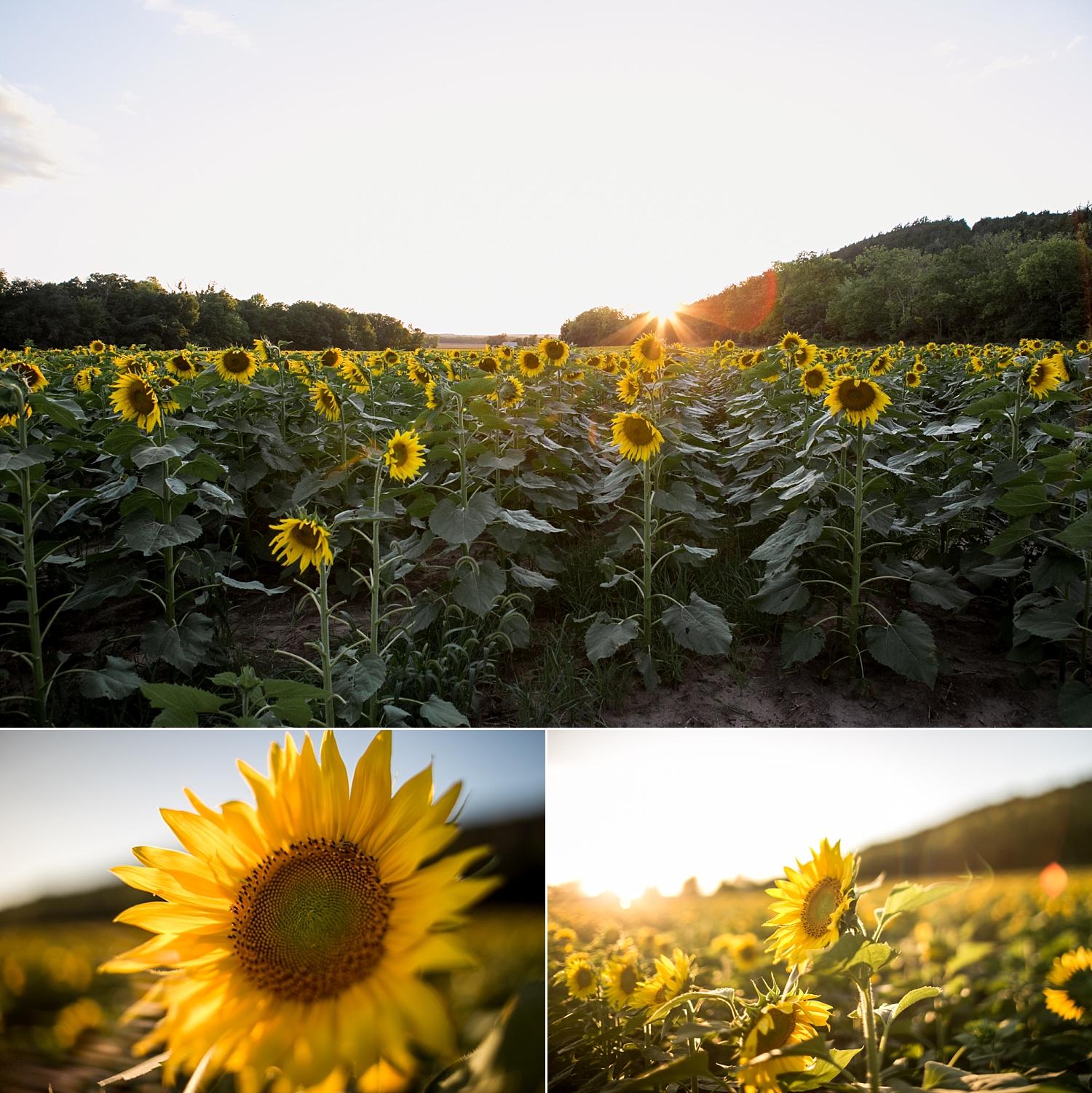 Sunflower-Photography-Mini-Session-Britts-Farm-Manhattan-KS