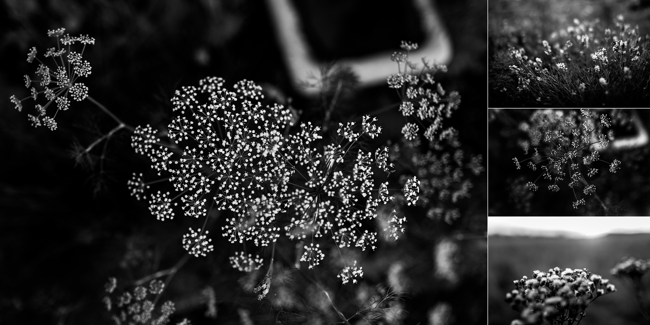 Black and white flowers in a garden in Olathe Kansas