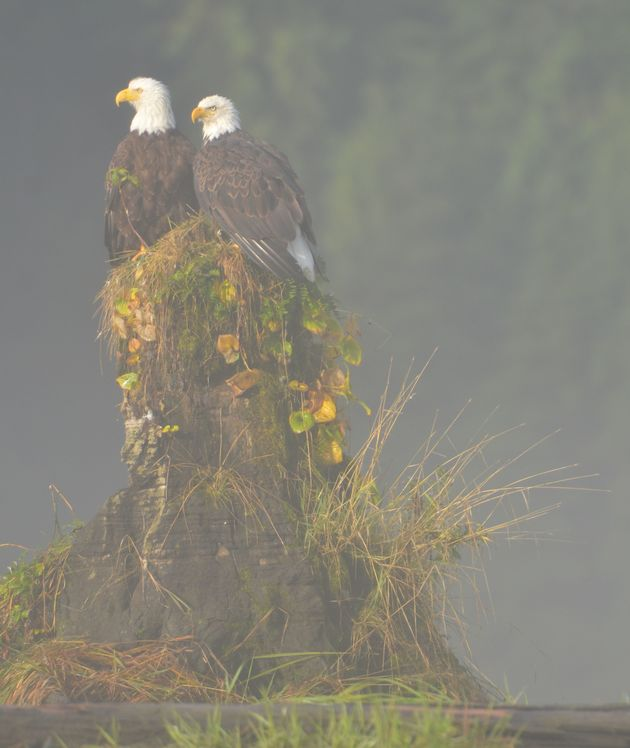 Photo: Cristina Eisenberg Bald Eagles in the Mist
