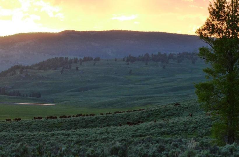 Photo by Cristina Eisenberg Yellowstone Bison
