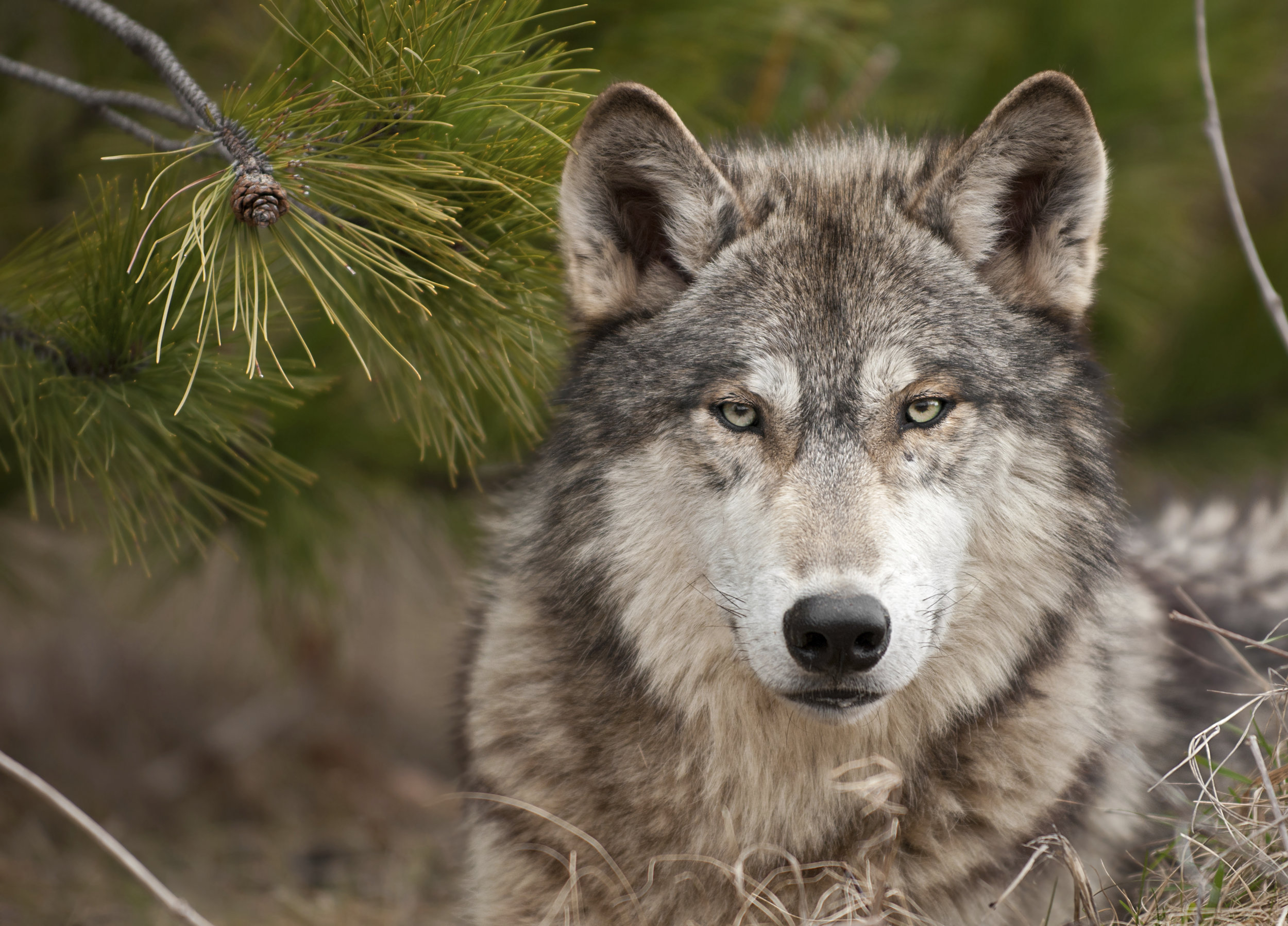 Mexican Gray Wolf, Photo by David Parsons