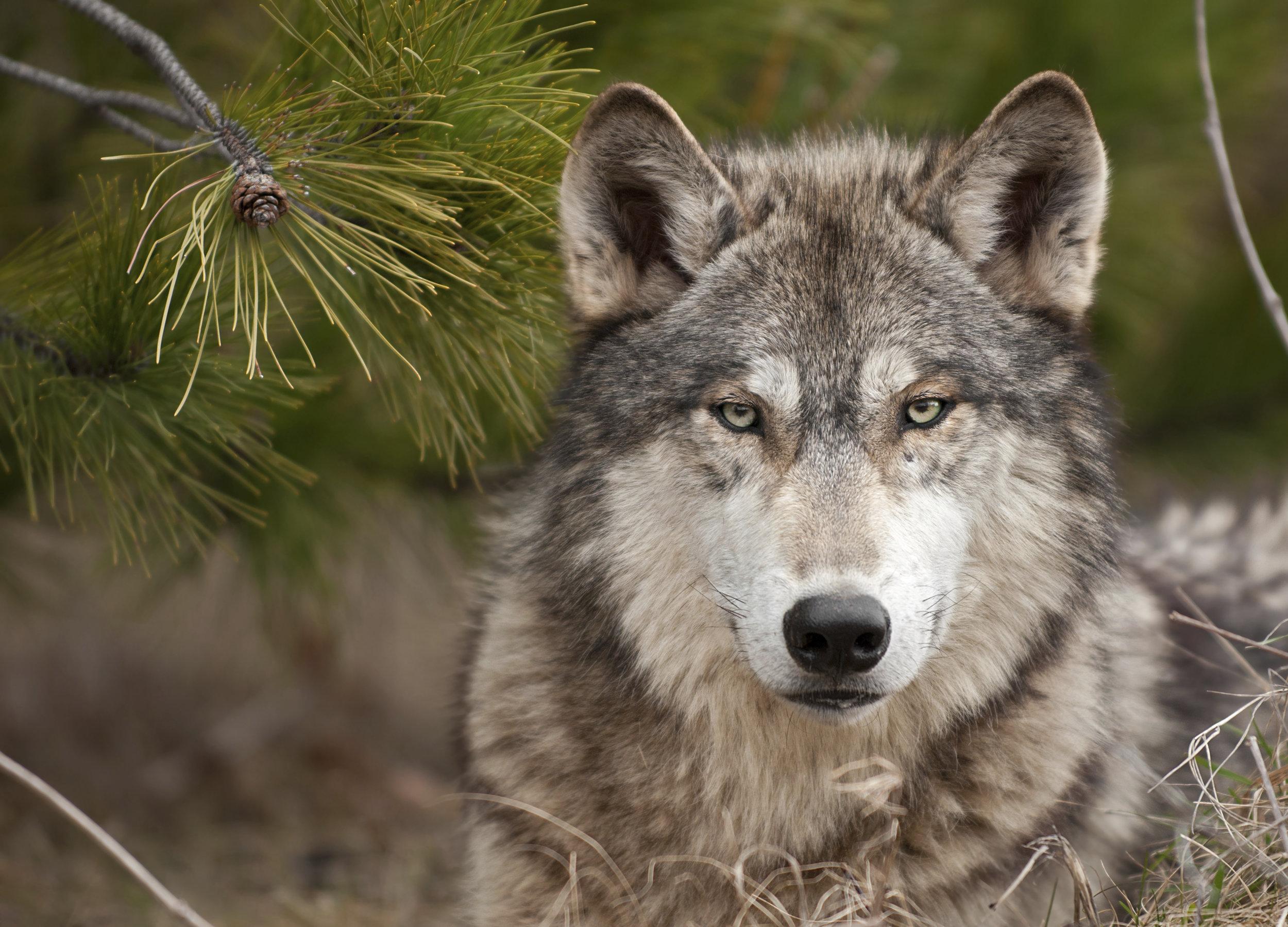 Gray Wolf, Courtesy David Parsons