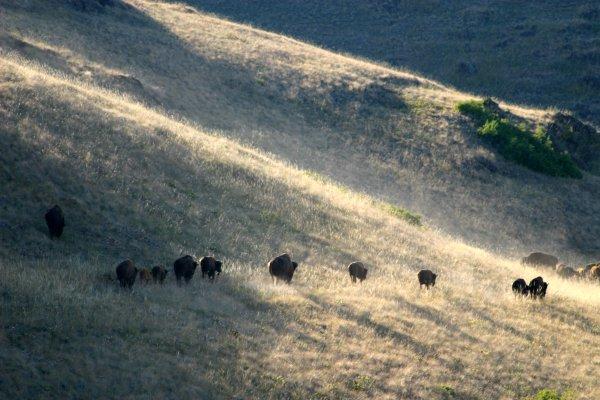 Bison, Photo by Cristina Eisenberg