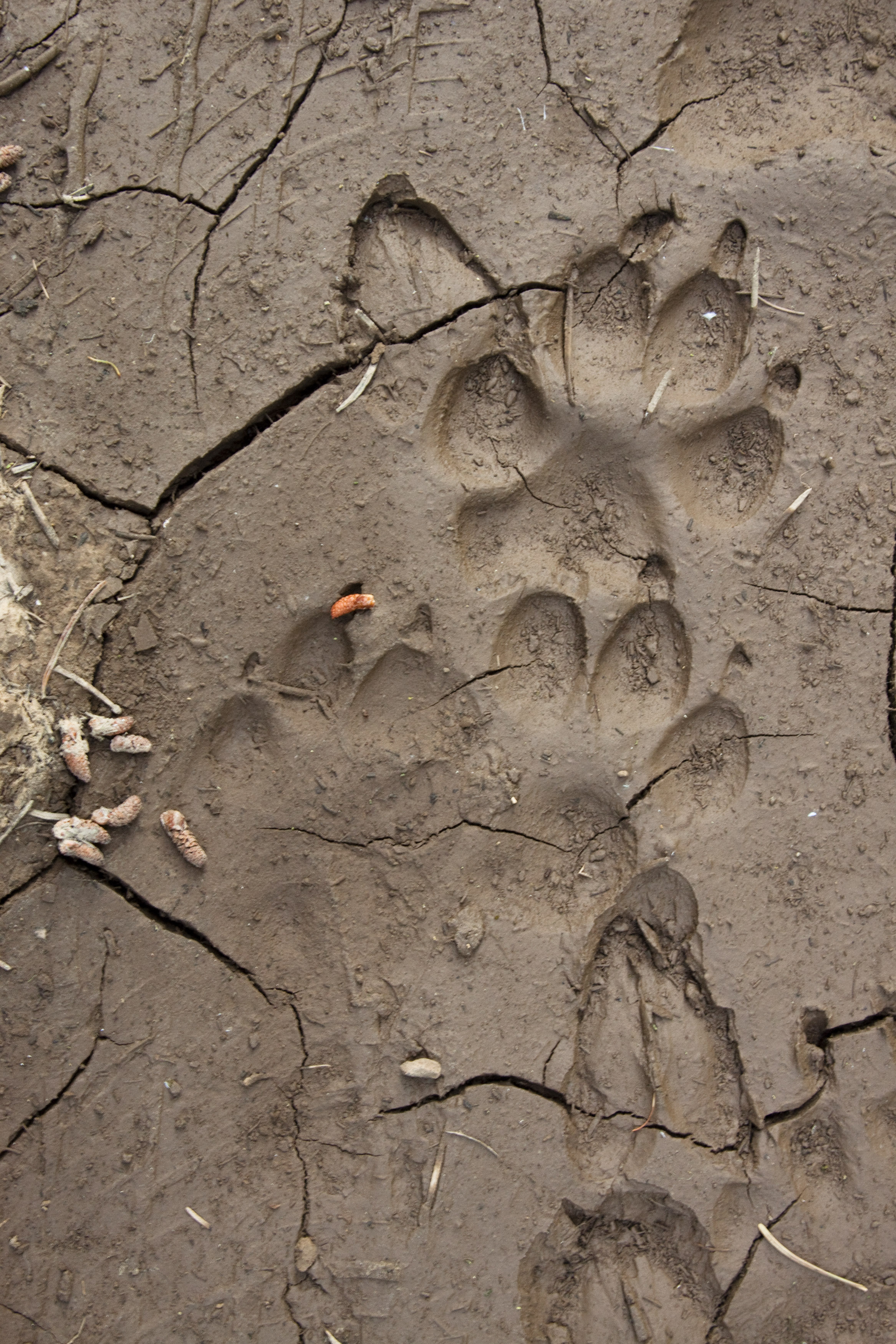 Wolf Tracks, Photo by David Moskowitz