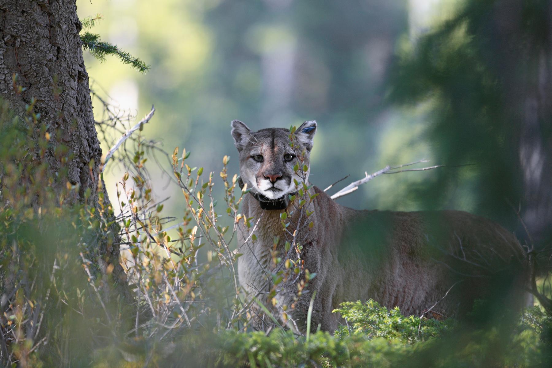 Doug the Cougar, photo by John Marriott