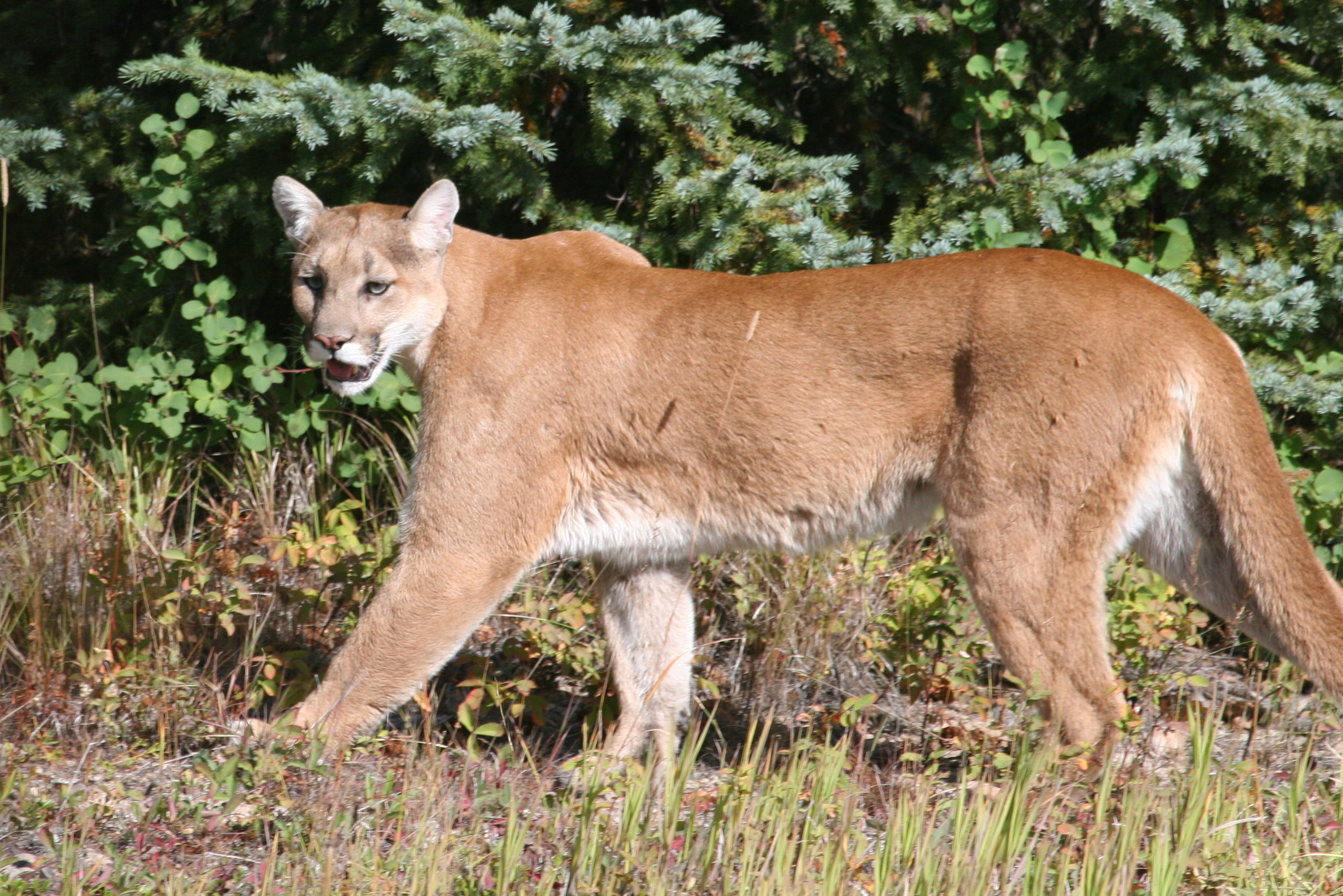North Fork Cougar, Eisenberg Project Photo