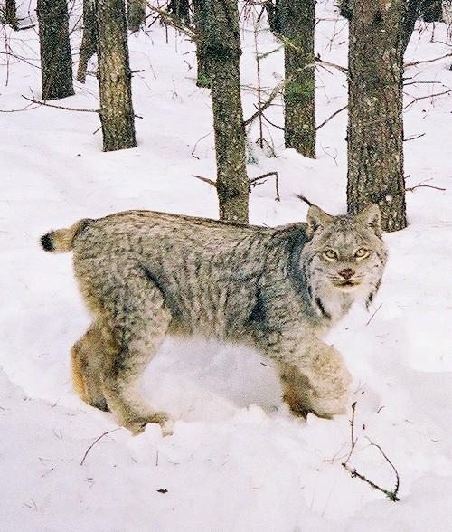 Lynx (Lynx canadensis), Photo Courtesy USDA