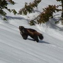 Wolverine (Gulo gulo), Photo by Jeff Copeland