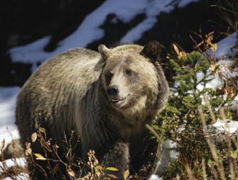 Grizzly Bear Foraging on Whitebark Pine Photo Courtesy American Forests
