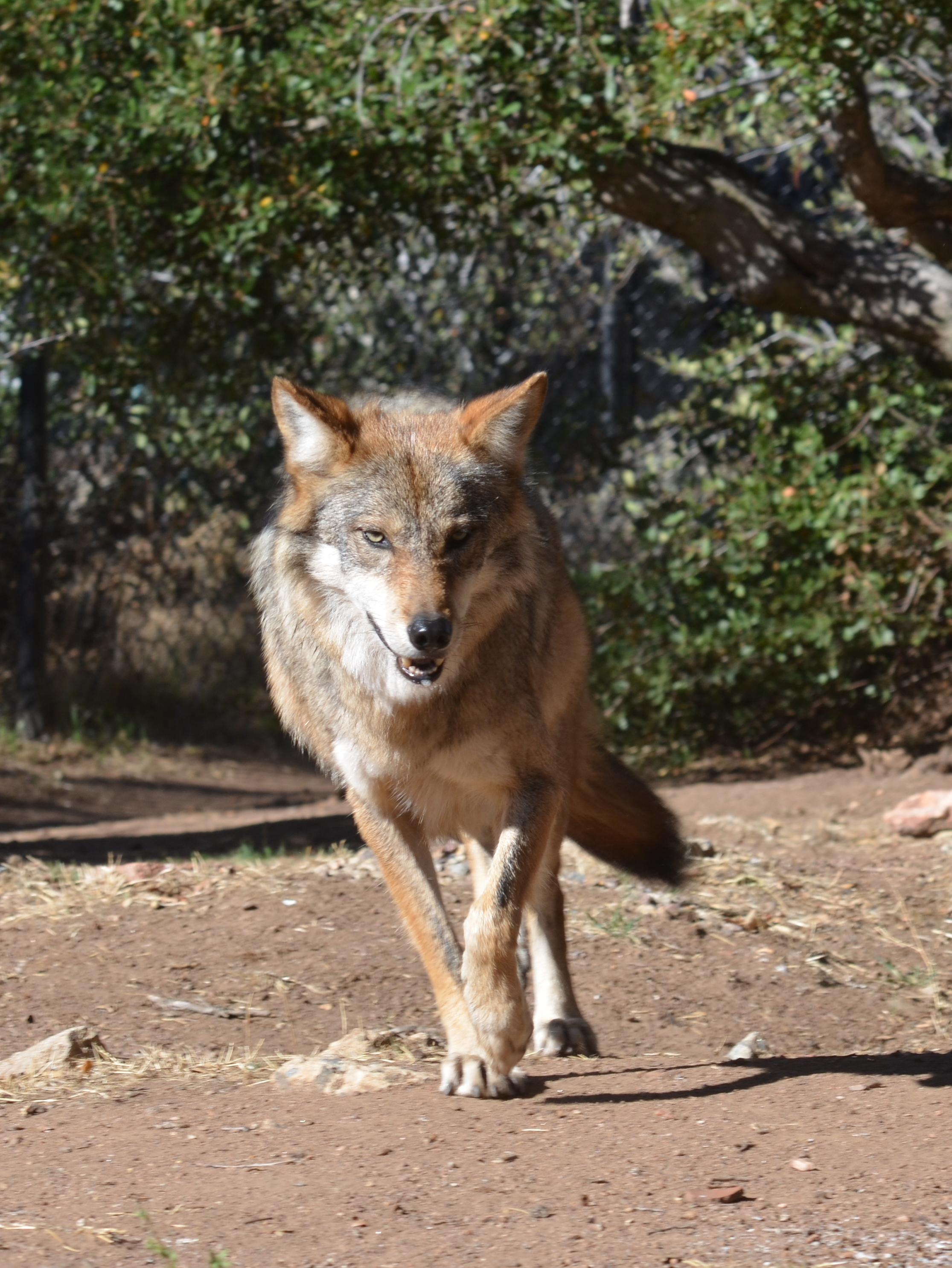 Mexican Gray Wolf, California Wolf Center. Photo by Cristina Eisenberg