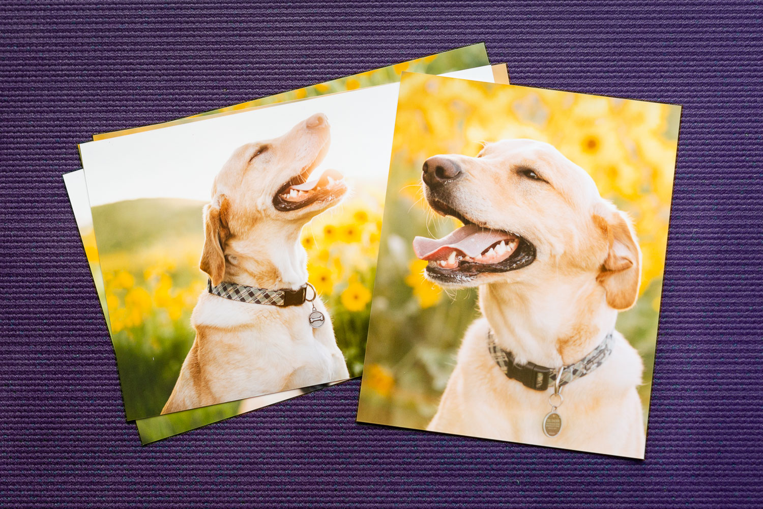 Photo prints of a smiling yellow lab in the flowers sit on a purple background.