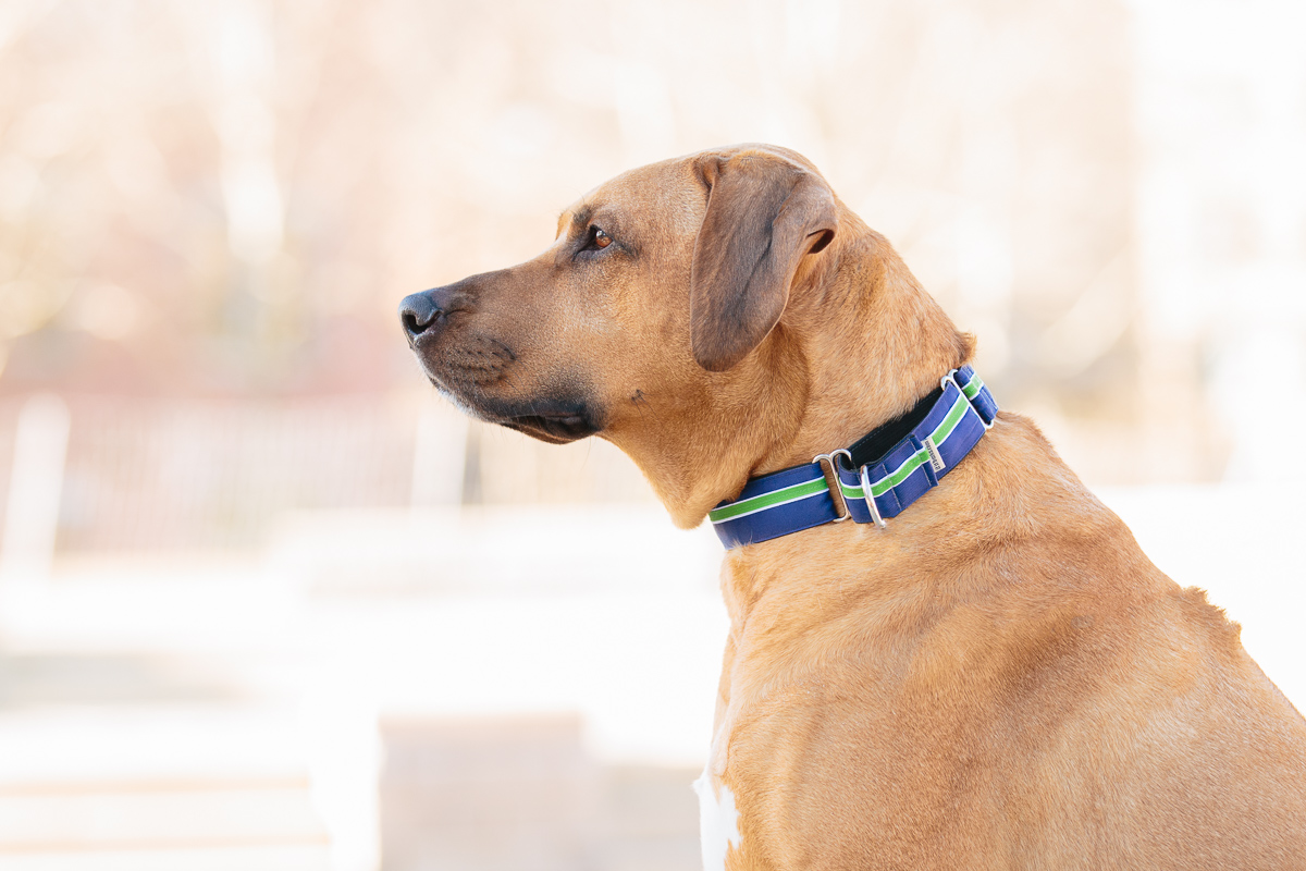 A Rhodesian Ridgeback in profile view, wearing a blue and green martingale collar.