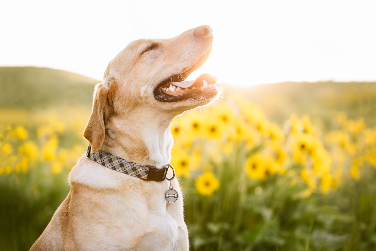 A backlit yellow lab stands in a field of arrowleaf balsamroot wildflowers in Missoula, Montana.