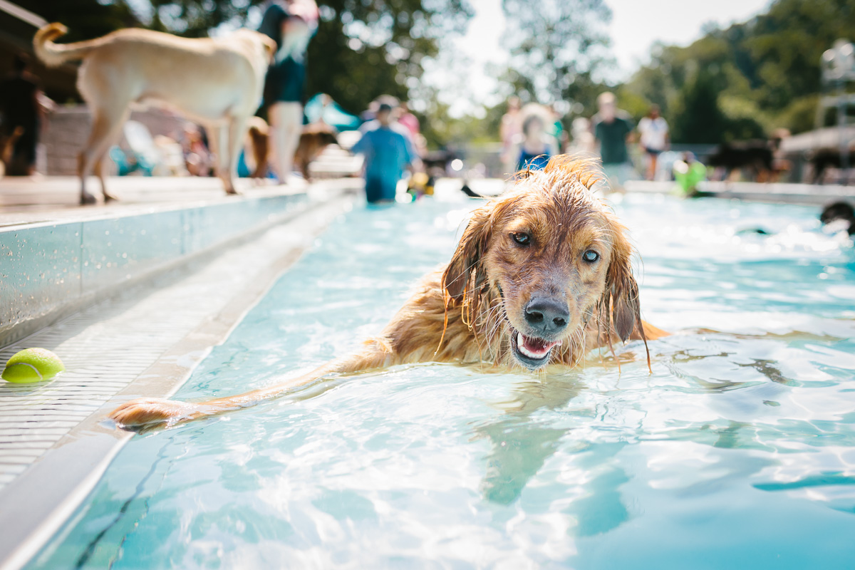 The world's happiest golden retriever smiles while swimming during a doggie pool party.