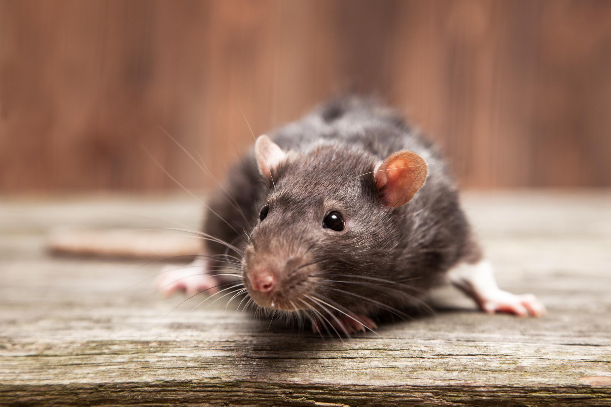 Is it a rat? -