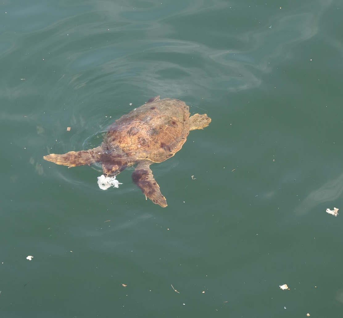 A close up of the turtle trying to eat the plastic waste ( Picture © Paul Wheatley )