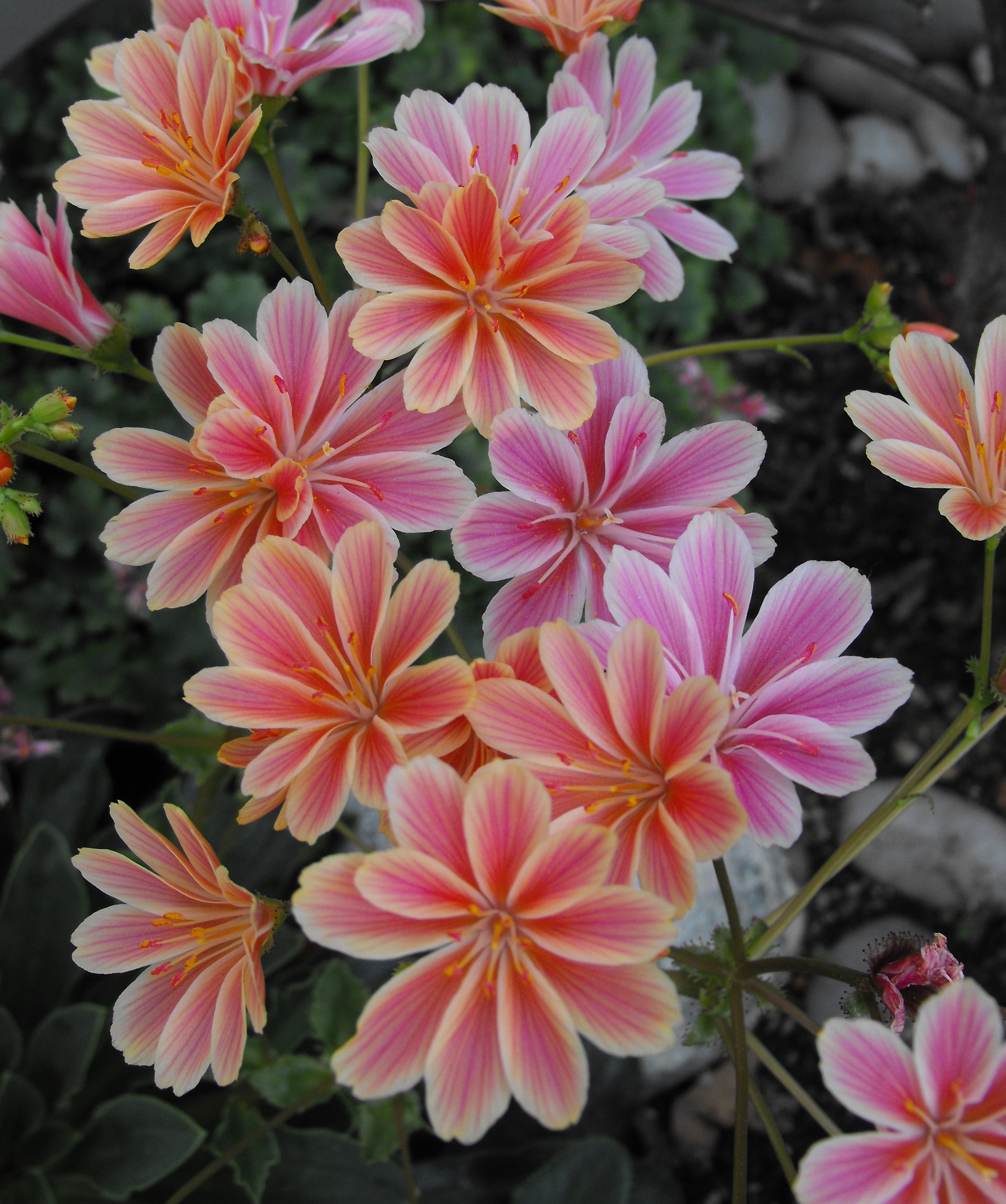 Image taken by user Stickpen on Wikipedia, creative commons licence.  Location: Rancho Santa Ana Botanic Garden, Clairmont, CA, USA