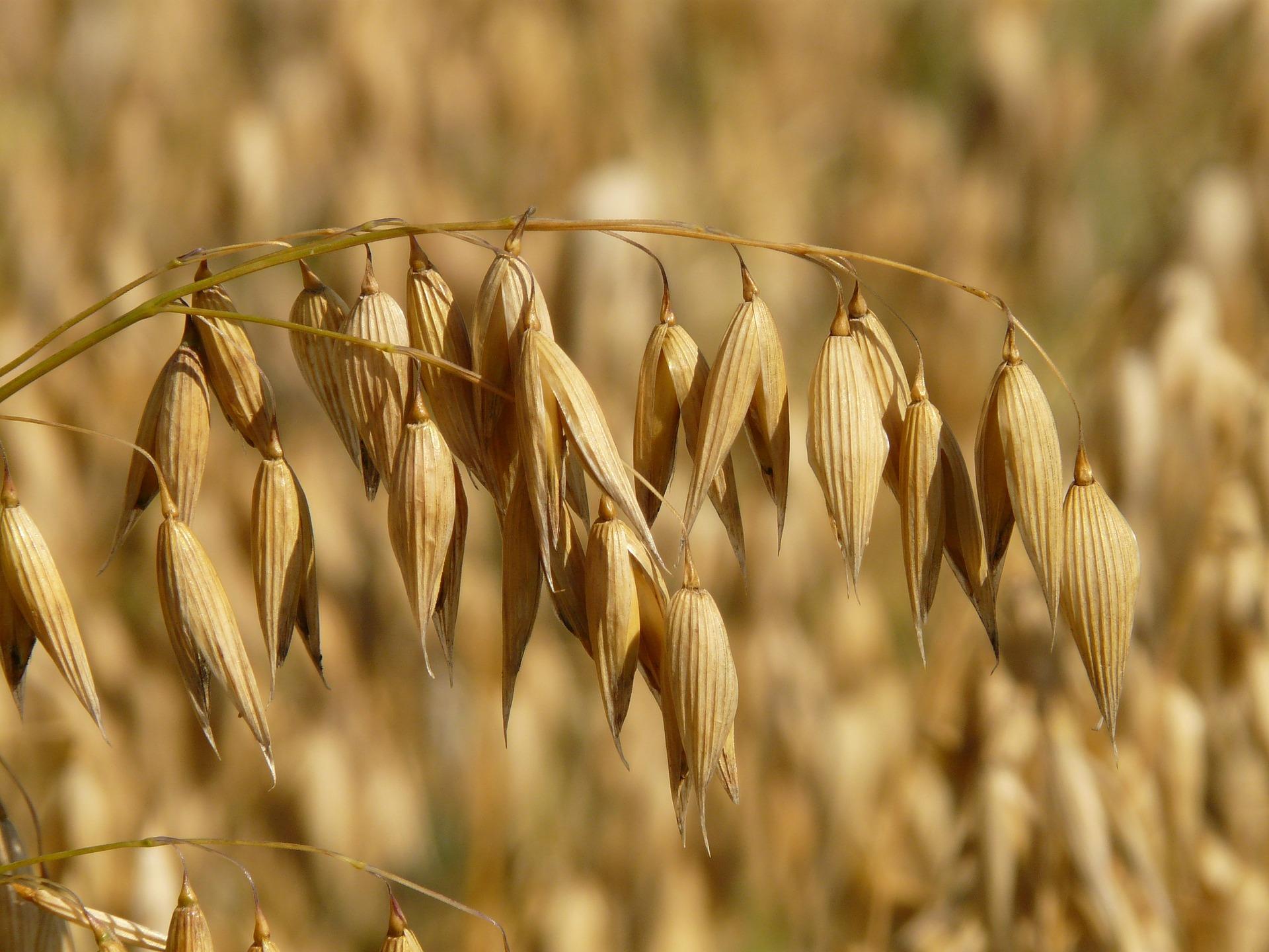 oats-8946_1920.jpg