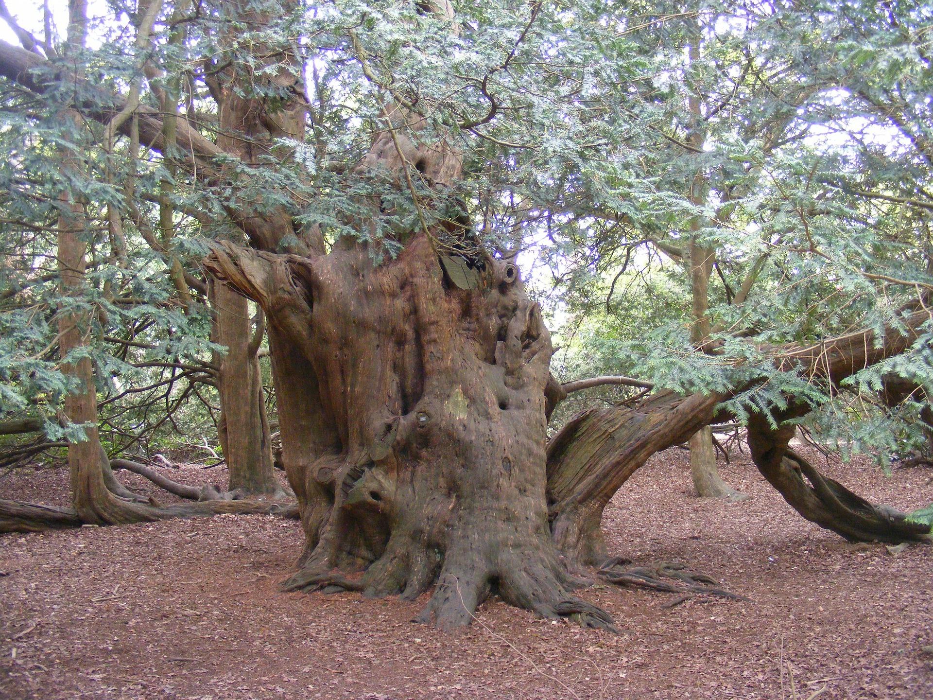 Ancient Yew Tree, Langley Park, UK