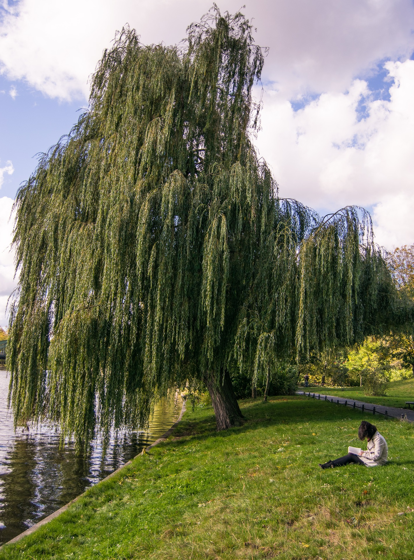 Weeping Willow ( Salix babylonica, L. )
