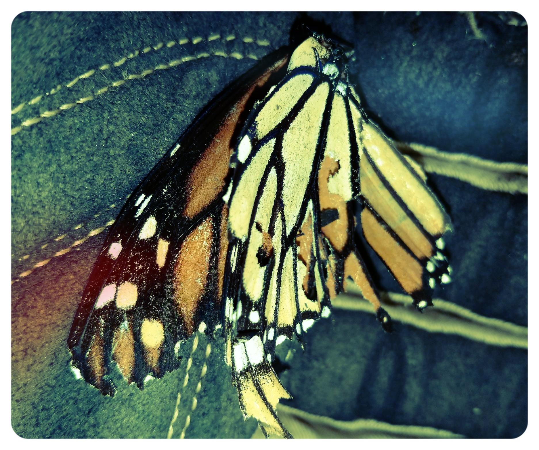 Monarch butterfly ( Danaus plexippus ), 2018