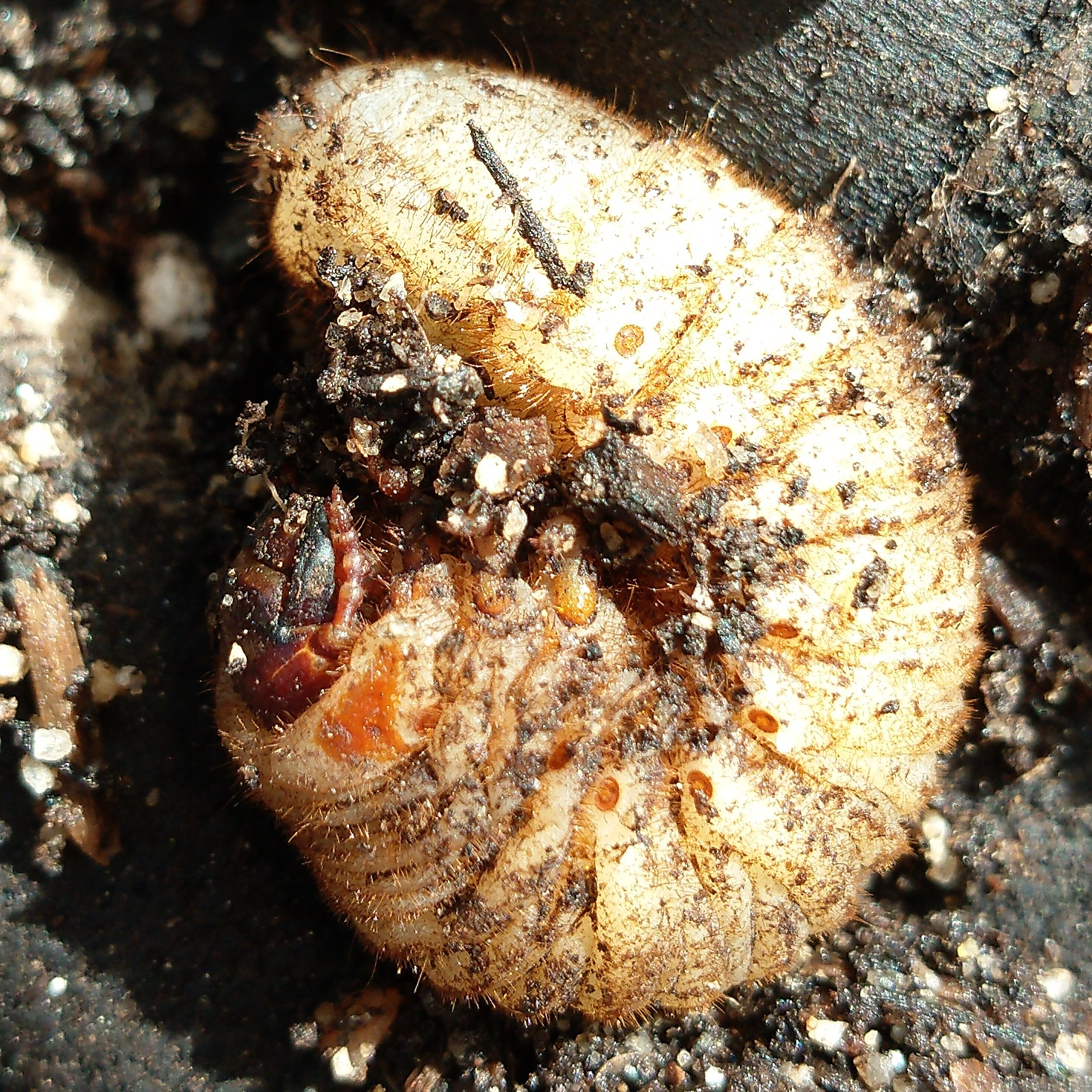 Rose chafer larva ( Cetonia aurata  )