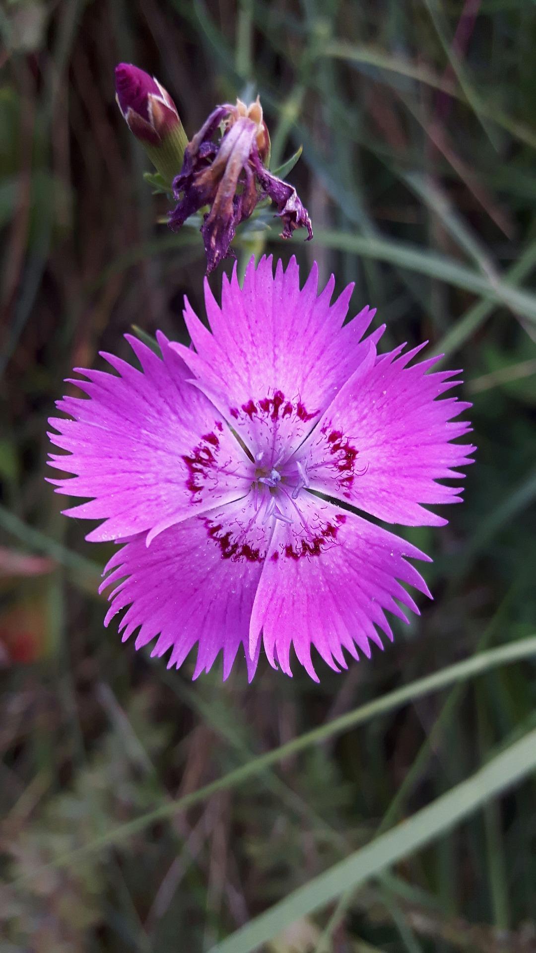 carnation-3397800_1920.jpg