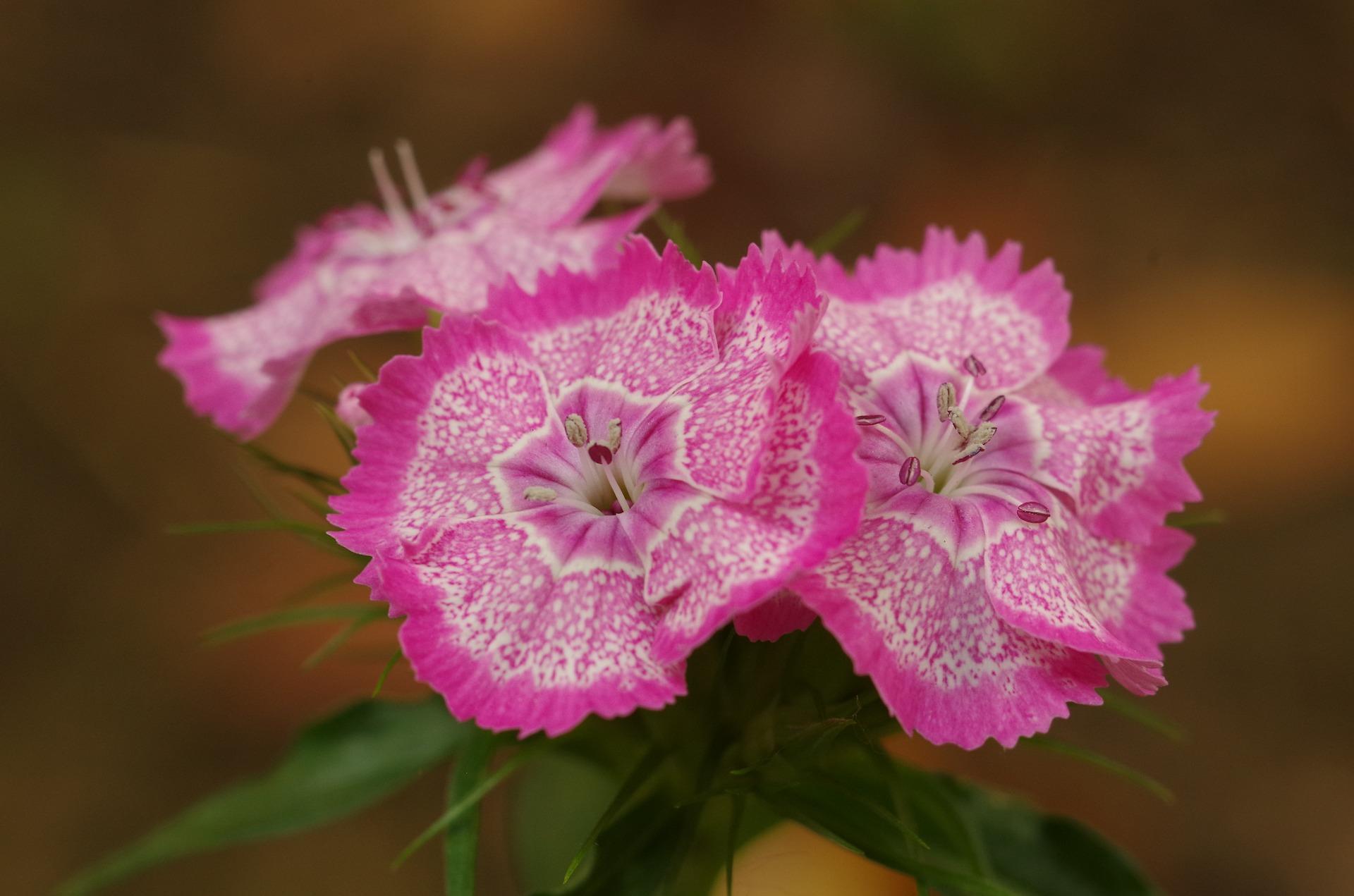 pink-flowers-3249628_1920.jpg