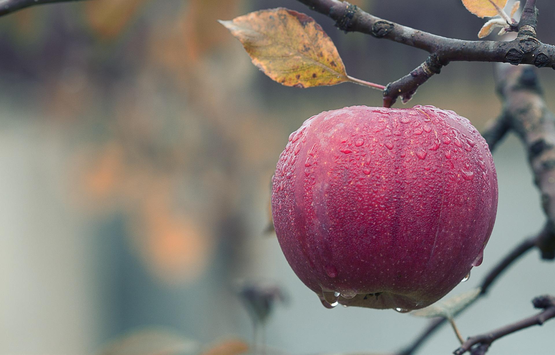 The Common Apple ( Malus pumila ).
